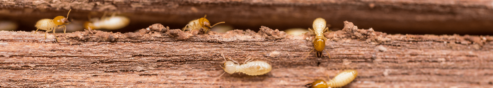 termites infesting a log around oklahoma home