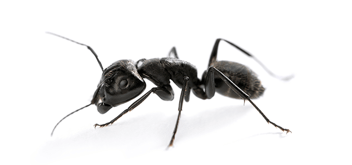 carpenter ant on a white background