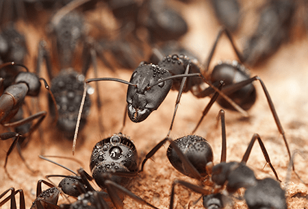 carpenter ants up close