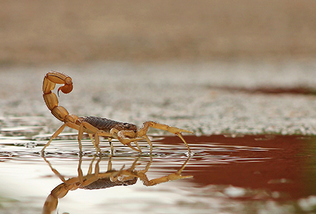 scorpion in water