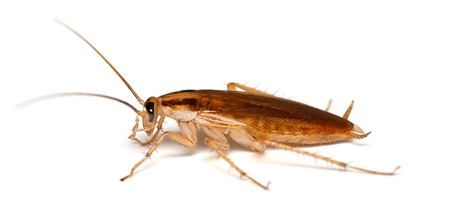german cockroach on a white background