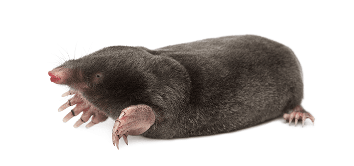 mole on a white background