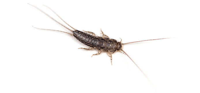 silverfish on a white background