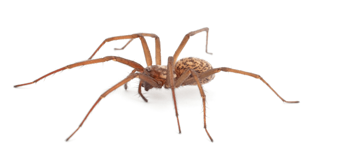 house spider on a white background