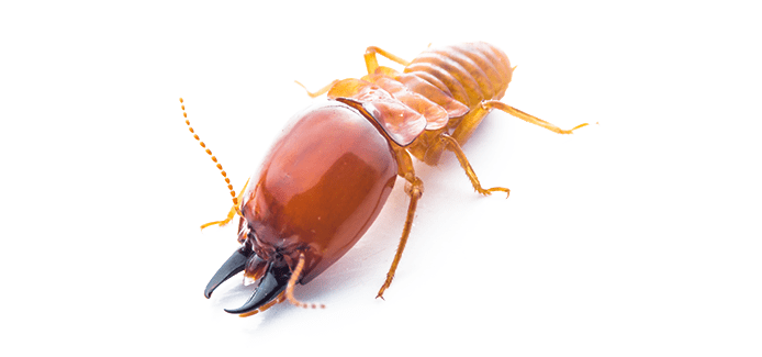 termite on a white background